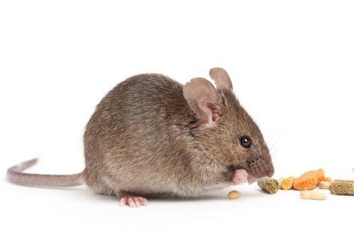 Mẹo diệt chuột hiệu quả